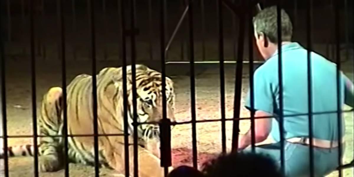 Domador de circo morre ao ser atacado por quatro tigres na Itália