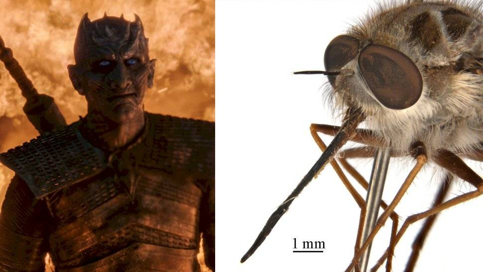 El curioso insecto que recibió el nombre de uno de los personajes de Game of Thrones