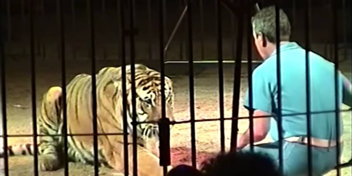 Domador de circo muere al ser atacado por 4 tigres en Italia