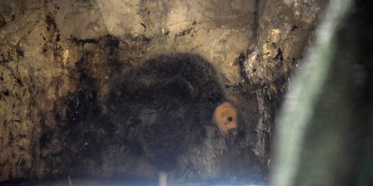 Nace otro Cóndor de California en Zoológico de Chapultepec