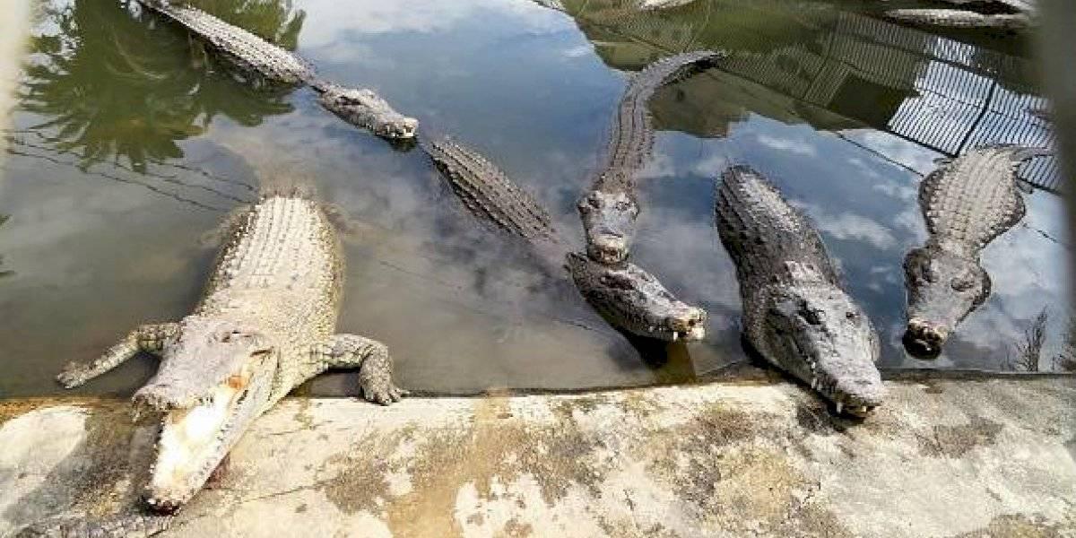 """""""No sabía si lo que estaba viendo era real o una pesadilla"""": pareja sale a pasear y encuentran a 10 caimanes devorándose el cuerpo de un menor"""