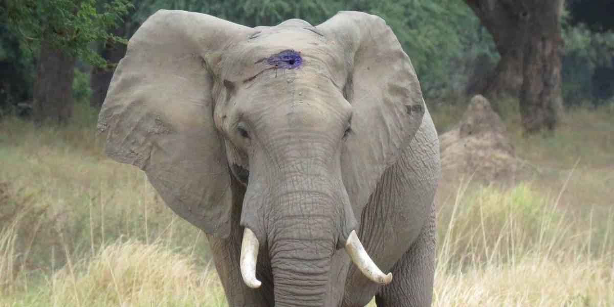 Estuvo cerca de la muerte: la historia del elefante que pidió ayuda tras recibir un disparo en la cabeza
