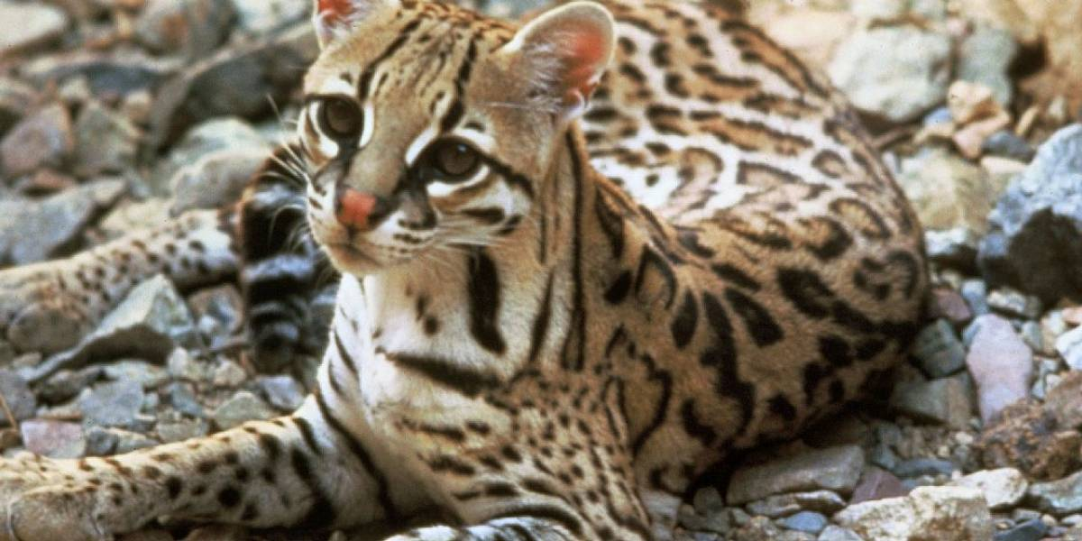 Conaf califica de histórica la aparición de un gato guiña en Parque La Campana