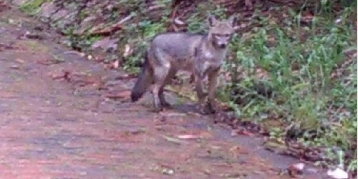 Encuentran zorro en zona que será intervenida en los Cerros Orientales de Bogotá