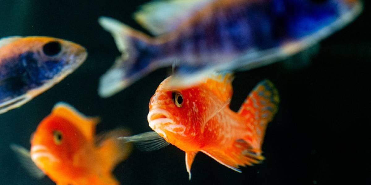 Ellos también lloran: científicos revelan que los peces no se comunican ni sonríen pero sufren
