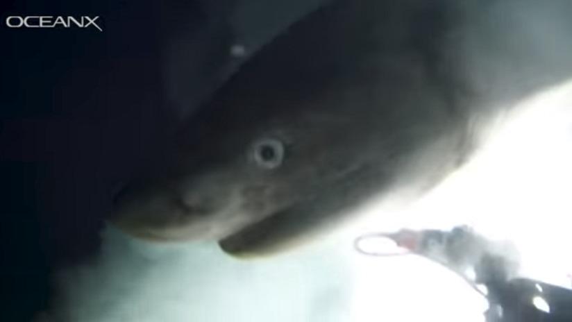Insólito: Logran captar imágenes de un tiburón en aguas profundas el cual su especie proviene desde el jurásico