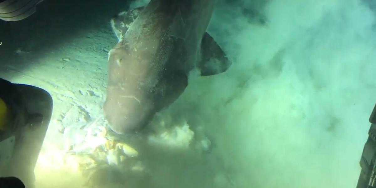 Insólito: Logran captar imágenes de un tiburón en aguas profundas que proviene del jurásico