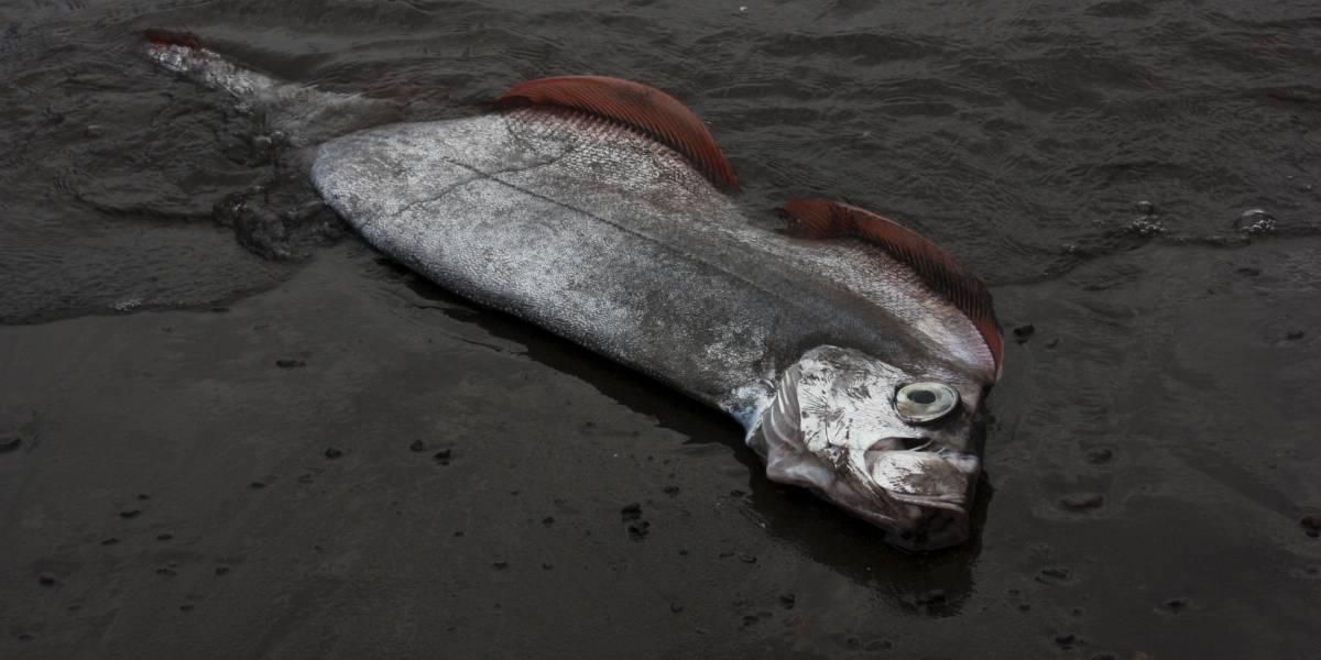¿Se viene otro sismo? Aparece pez remo entre las redes de pescadores