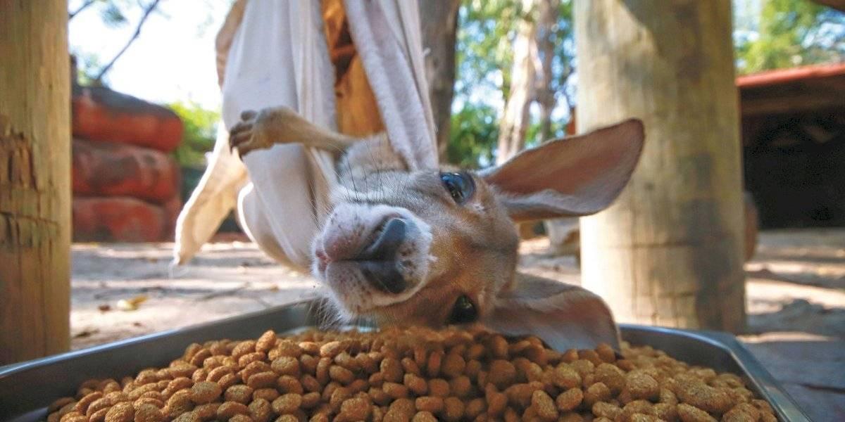 Kia, la bebé canguro a cargo del Zoológico de Guadalajara