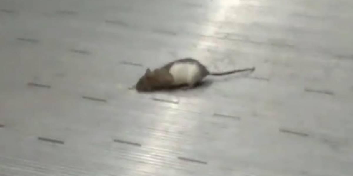 Encuentran una rata paseando por estación de TransMilenio