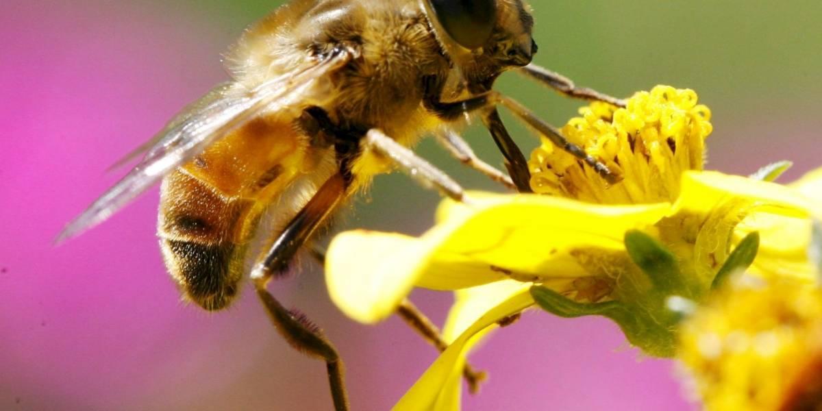 """Miles de abejas están muriendo en Colombia y la gente pregunta si es el """"avispón asesino"""""""