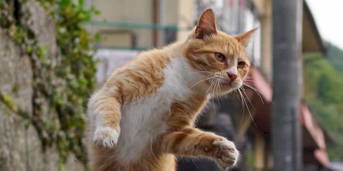 Un fotógrafo japonés se dedica a capturar gatos en posiciones ninja