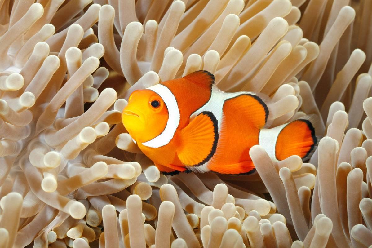 Expertos descubren que el pez payaso está siendo afectado en su reproducción por la luz artificial