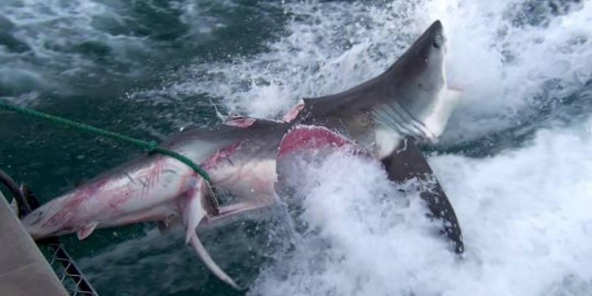 Vídeo impressionante revela tubarões canibais; embrião mais velho caça e mata irmãos ainda no útero