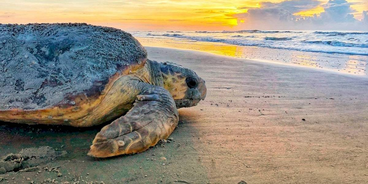 Para mantener la esperanza: tortugas superan récords de anidación en sureste de EEUU