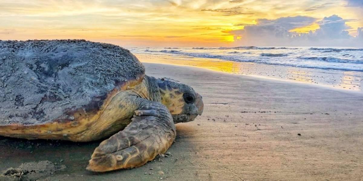 Raras tortugas marinas acribillan récords de anidación