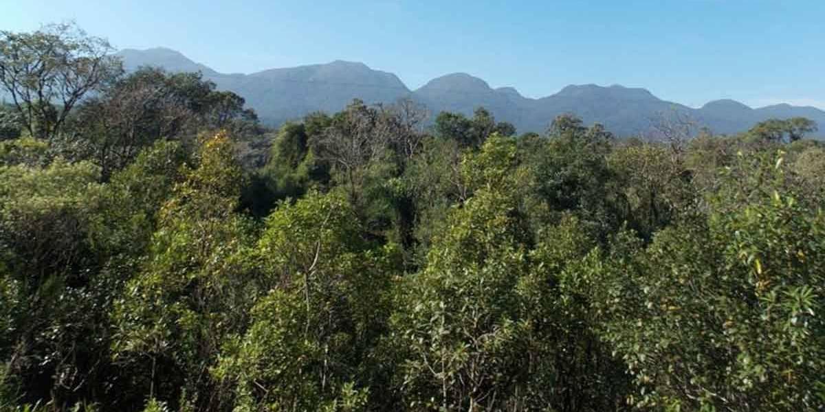 Composto de planta da Mata Atlântica combate leishmaniose e Chagas