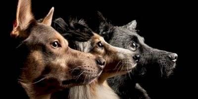 Perros (Referencial)