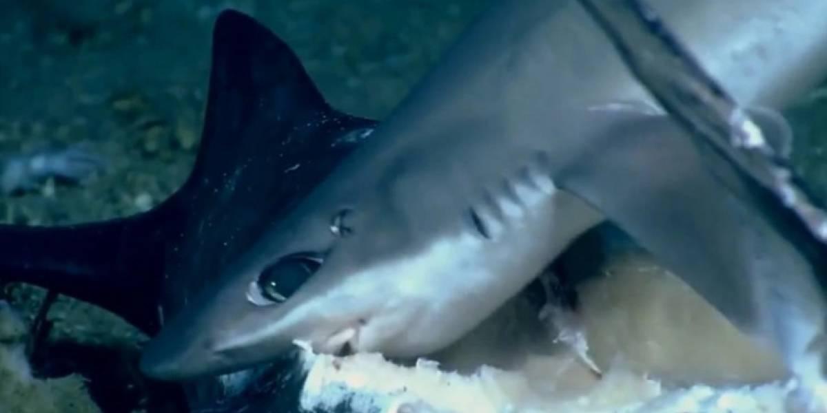 Predador vira presa: Pesquisadores gravam momento raro em que tubarão é devorado por peixe