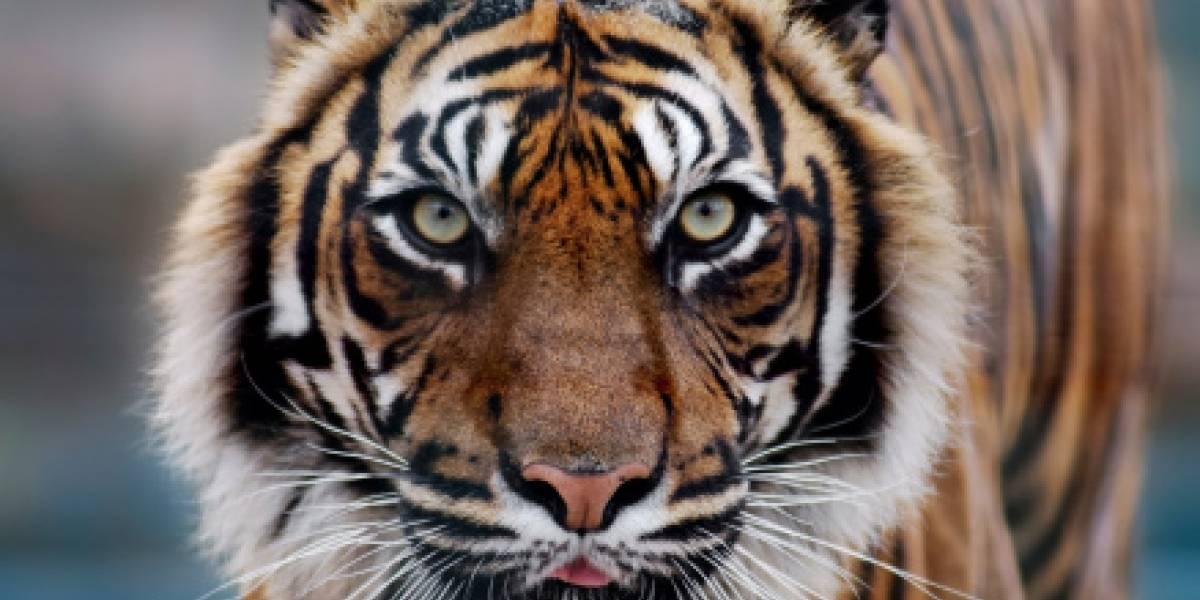 Me pareció ver un lindo gatito: sacó a pasear a su tigre pero casi desata el caos en ciudad rusa