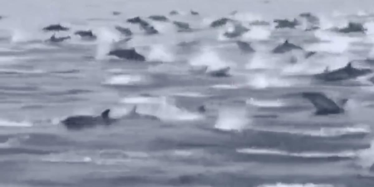 VÍDEO: Grupo impressionante de quase 100 golfinhos nada junto a barco na Califórnia