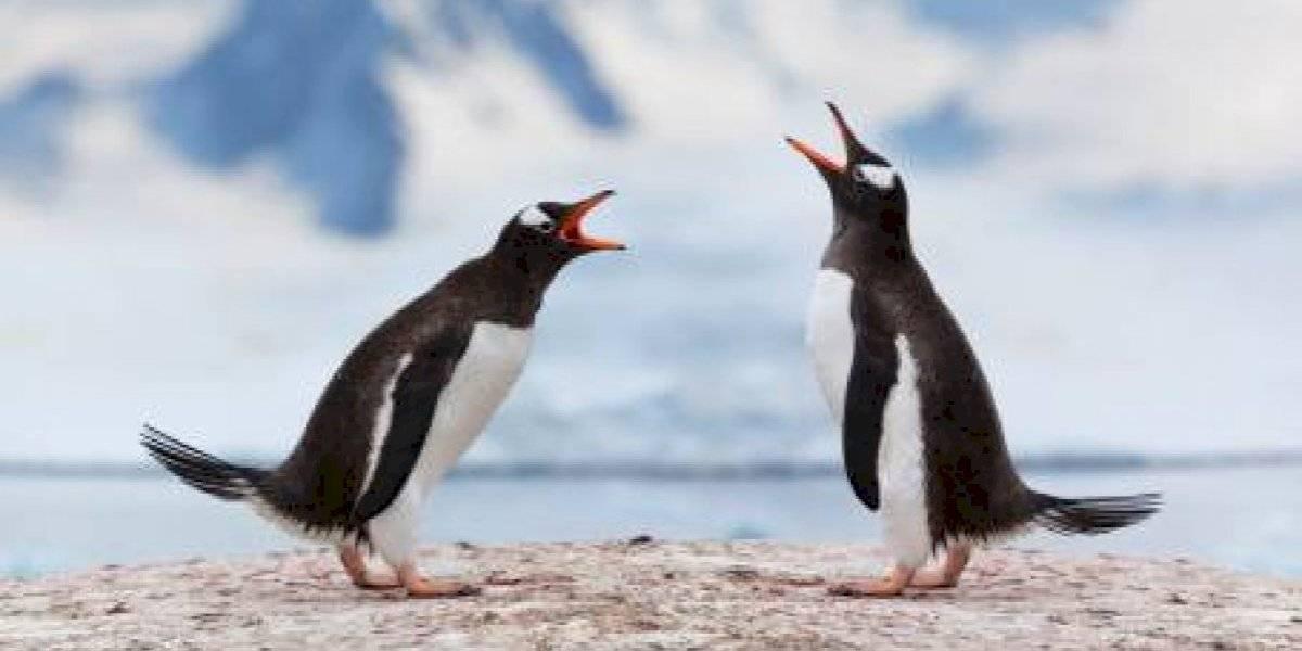 """Con comida a la carta: policía """"detuvo"""" a pareja de pingüinos que construyó su nido en un local de sushi"""