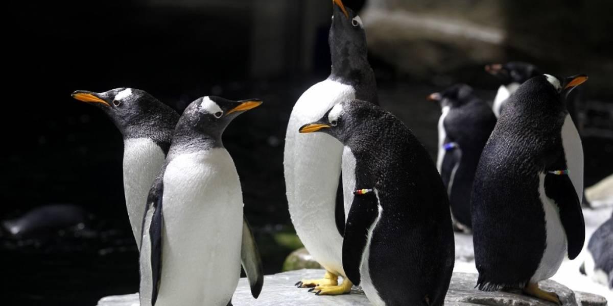 Rescatan a pingüinos en un puesto de sushi en Nueva Zelanda
