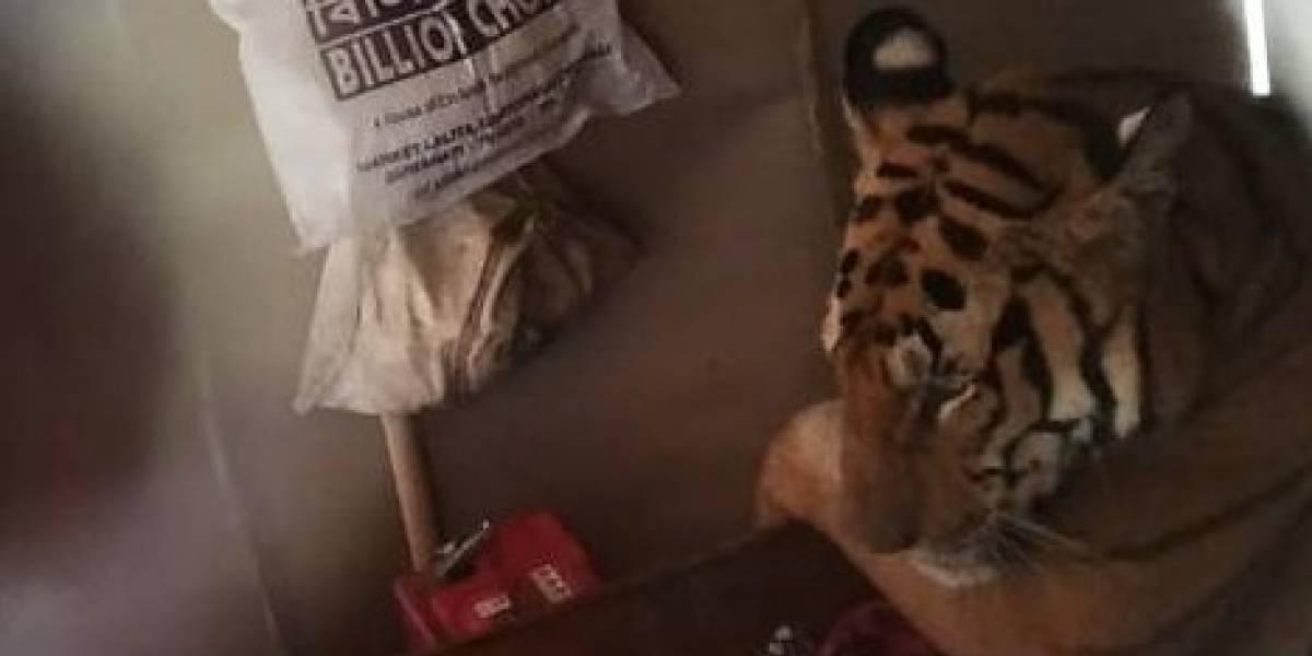 Sólo necesitaba descansar: Tigre atemorizó a todos cuando irrumpió en una casa en India escapando de las inundaciones