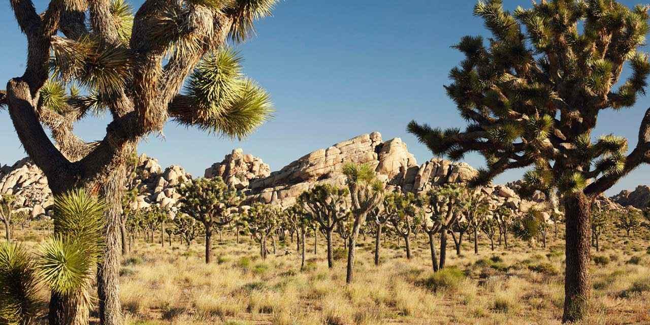 Icónicos árboles del Parque Nacional Joshua Trees en California podrían desaparecer por el cambio climático