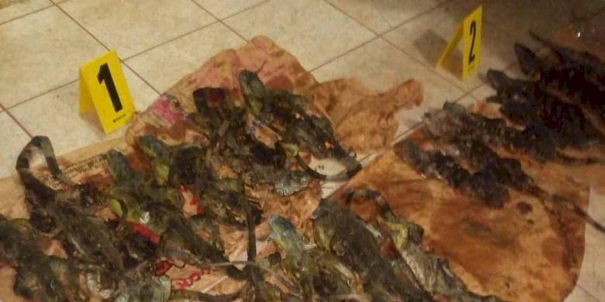 Capturan a un hombre que transportaba iguanas muertas para la venta