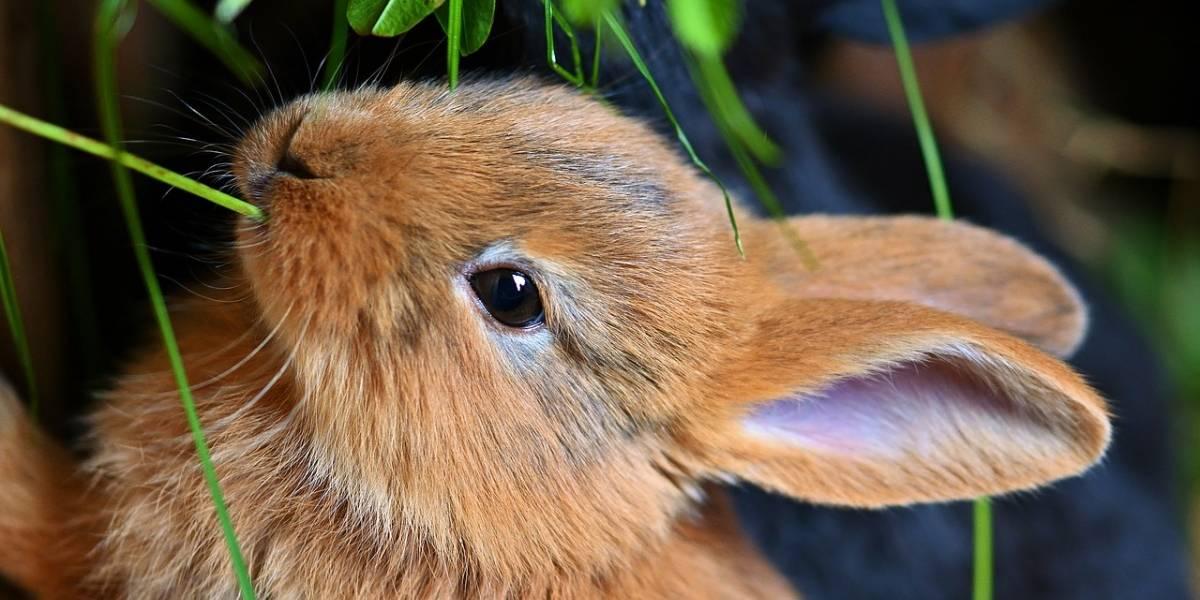 El conejo ha sido considerado por primera vez en peligro de extinción