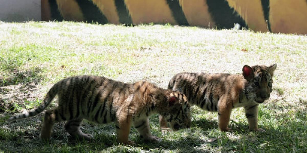 Tigres de bengala, nuevos inquilinos en La Pastora