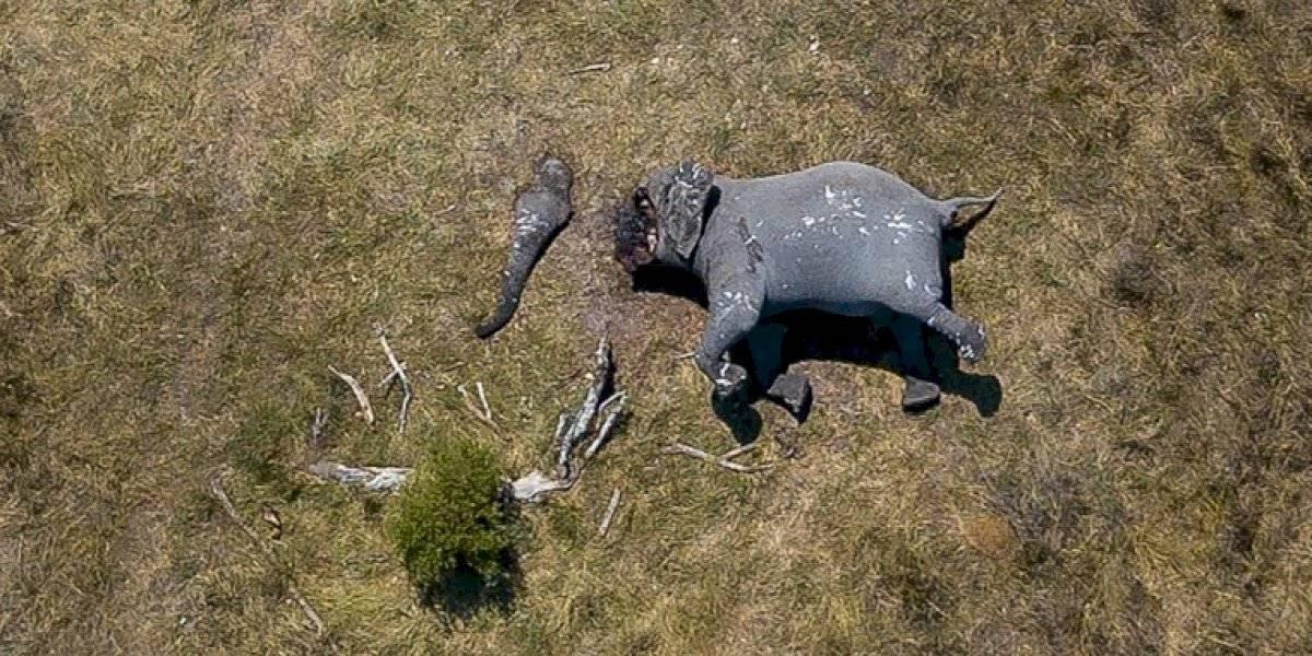 Brutal escena: elefante con la trompa y los colmillos mutilados por una motosierra fue captado por un dron en Botswana