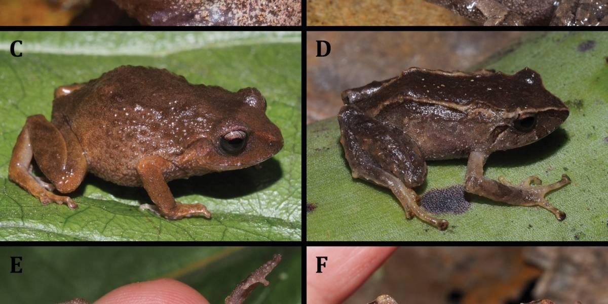 Investigadores describen dos nuevas ranas terrestres en Ecuador