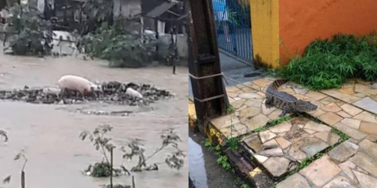 Jacaré encontrado na rua e porcos levados pela correnteza ilustram chuva no Recife