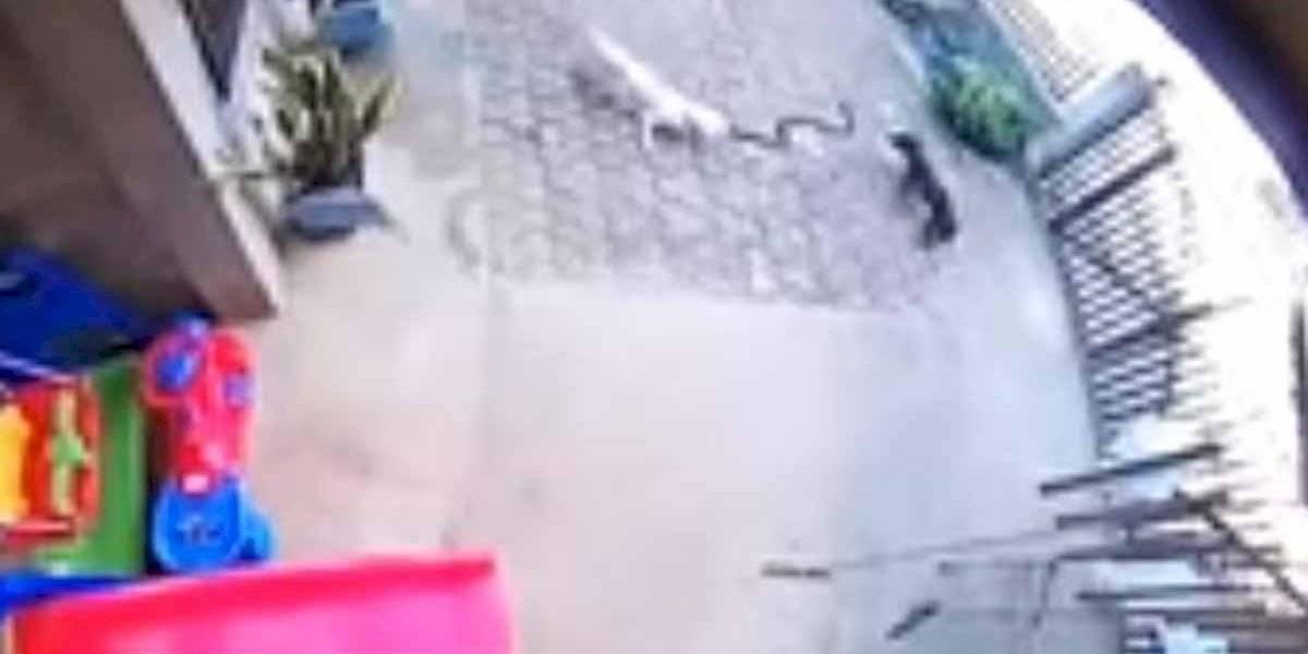 VÍDEO: duas cadelinhas brigam com uma cobra para salvar a vida de bebê que dormia tranquilamente