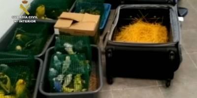 Hombre fue detenido por intentar volar con 68 aves ocultas en sus maletas