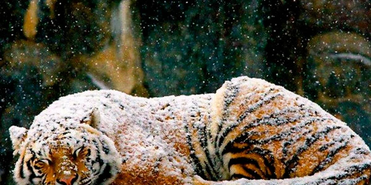 Siete tigres congelados son encontrados dentro de un auto en Vietnam