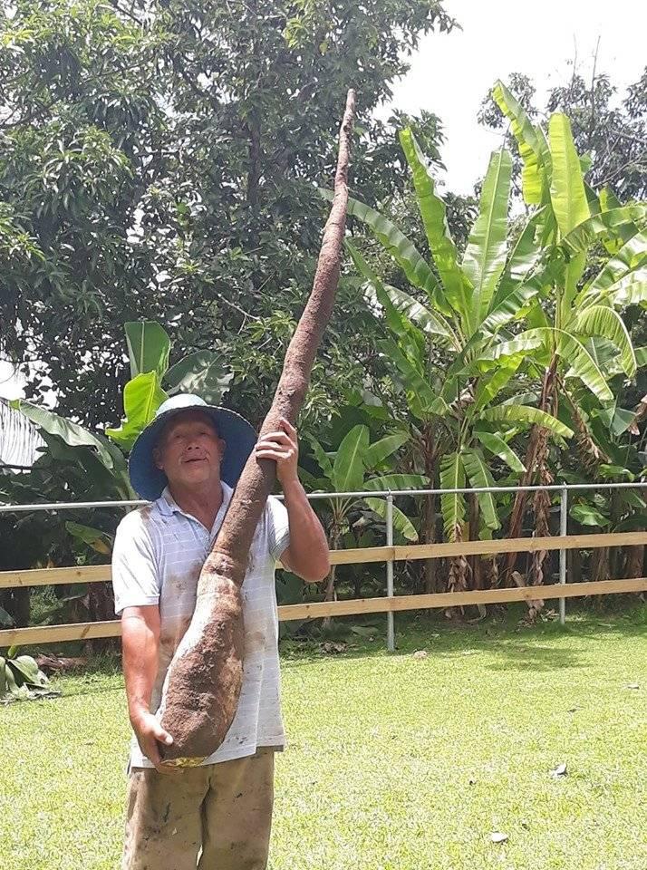Yuca gigante
