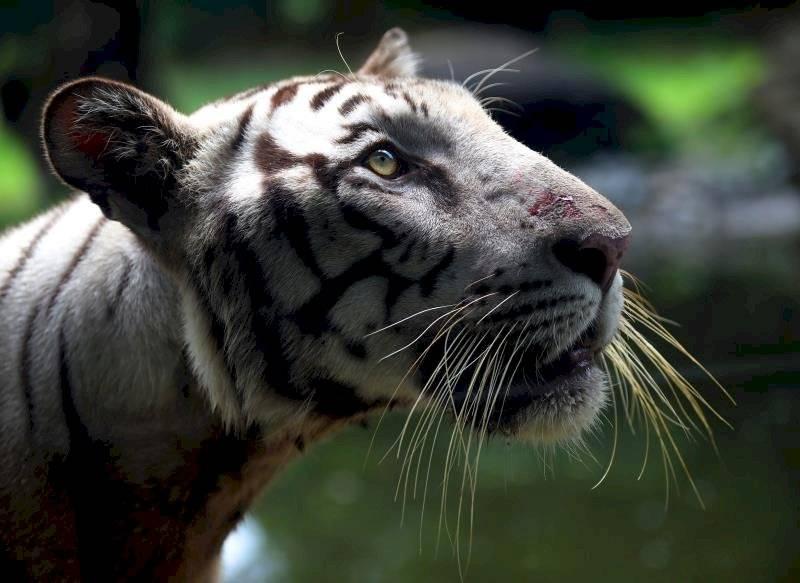 Población de Tigres