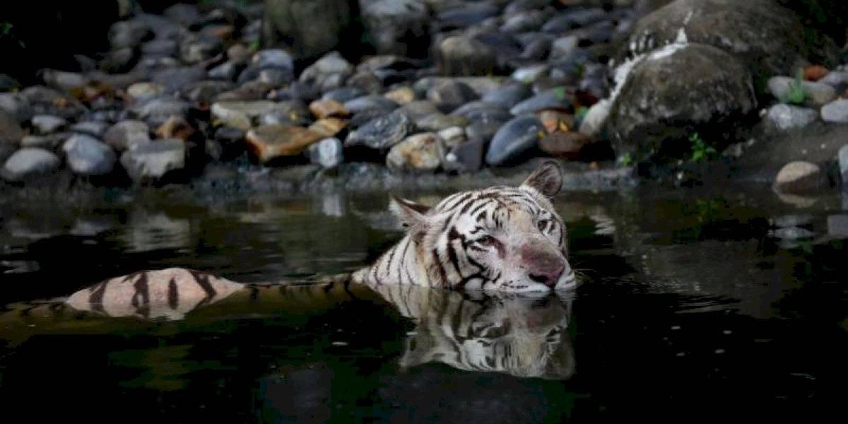 Crece la población mundial de Tigre gracias a India y Rusia