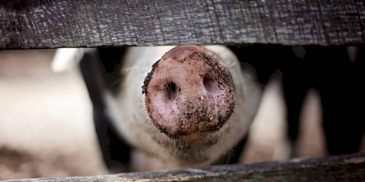 Gripe suína foi detectada em feira de animais nos Estados Unidos