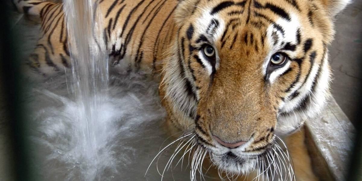 Logro histórico: India logra revertir el daño aumentando la población de Tigres salvajes un 30% en los últimos cuatro años