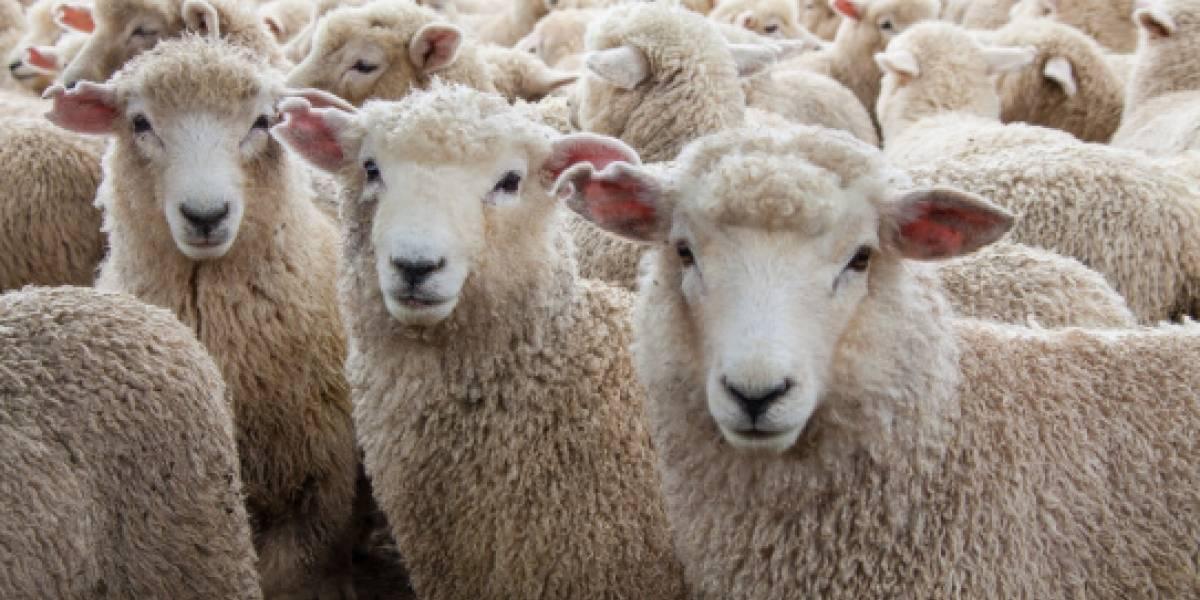 """""""Me comí a sus hijos, así que ellos se quieren comer a los míos"""": padre llama a la policía acusando que ovejas se querían vengar de su familia tras cenar cordero"""