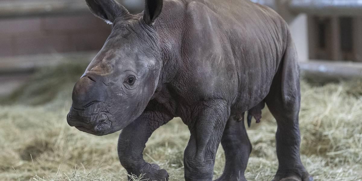 ¿Se salvará la especie? Rinoceronte blanco nace por inseminación artificial en California