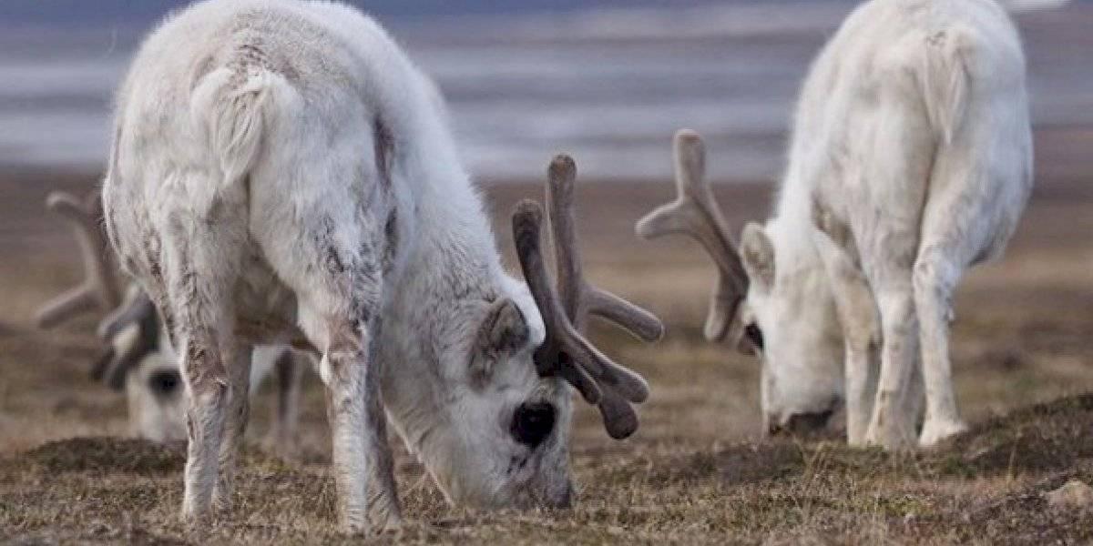 """""""Nunca antes habían visto tantos cadáveres a la vez"""": encuentran más de 200 renos que murieron por hambre y el culpable sería el cambio climático"""