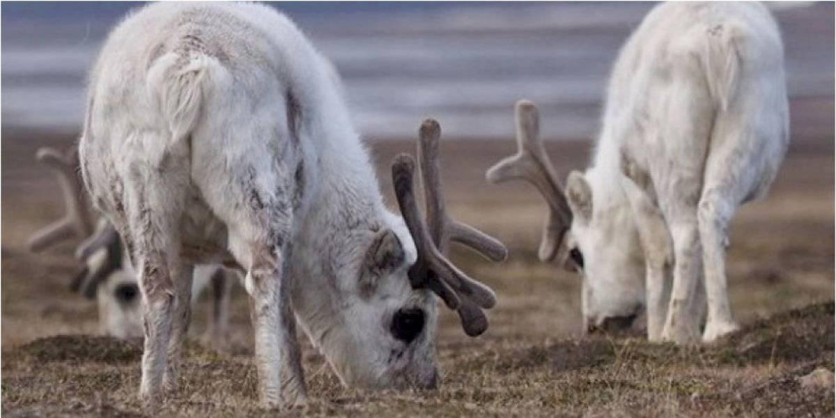 Encuentran más de 200 renos que al parecer murieron por hambre y el culpable sería el cambio climático