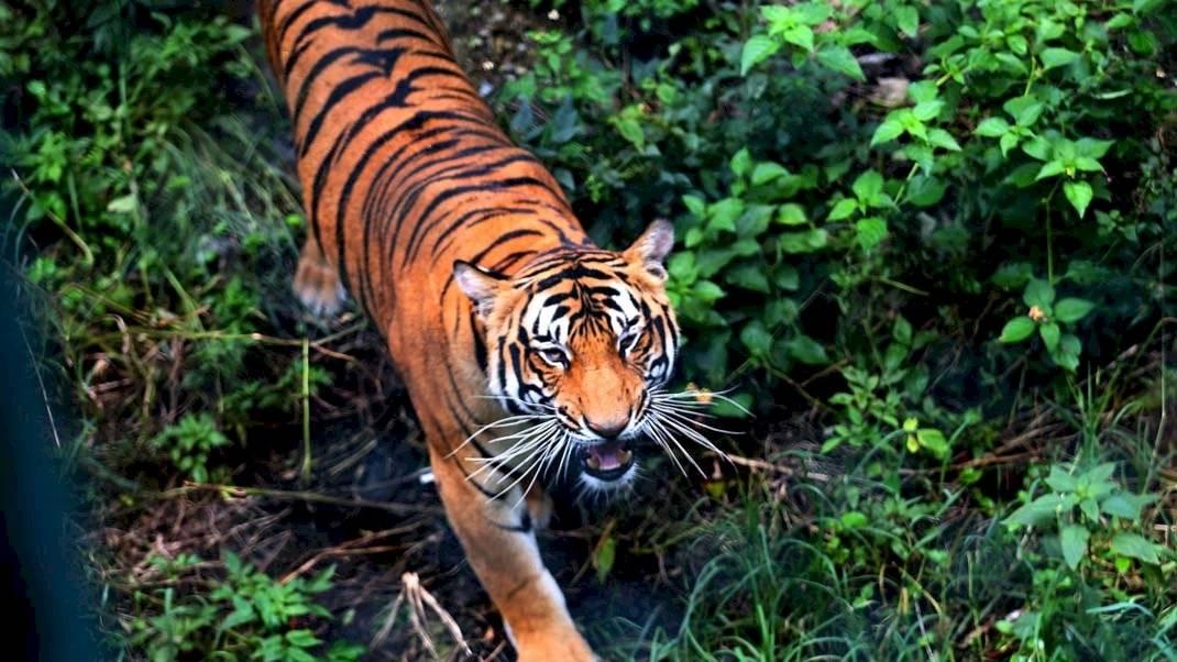 ¡Logro histórico!: La población de tigres en la India aumenta a 3.000 Internet