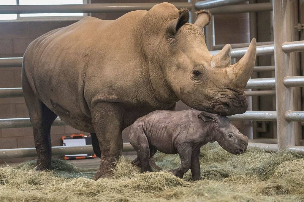 bebé rinoceronte blanco del sur