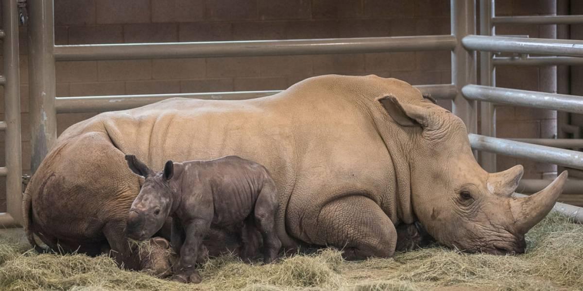 VIDEO. Nace rinoceronte blanco concebido por inseminación artificial